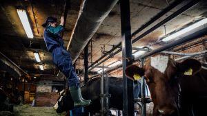 Heli Heikkinen vetää leukoja lehmien vieressä.