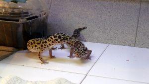 Kaksi leopardigekkoa lemmieläinliikkeessä.