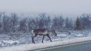 Poro Saariselän lumisessa maisemassa