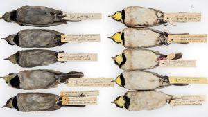 Kymmenen kiurua, joihin on kiinnitetty löytöpaikan ja muita tietoja kertova lipuke. Vasemmalla noen tummentamia, oikealla vaaleita lintuja.