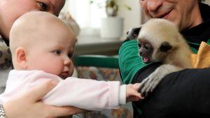 Puolivuotias vauva pitelee gibboninpoikasen etukäpälää.