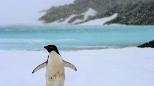 Jääpingviini kulkee jään päällä