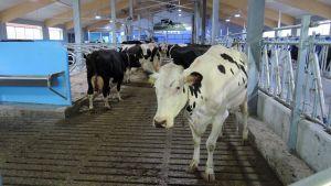 Lehmät käyskentelevät uudessa pihattonavetassa.