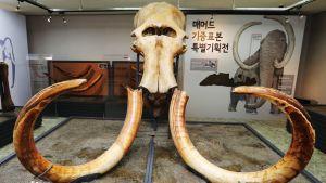Iso kallo ja kaksi pitkää käyrää hammasta, taustalla mammuttia elävänä esittelevä koreankielinen taulu.