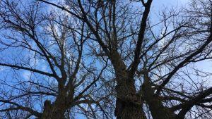 Vanhan puun latvus.