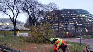 Puiden kaataminen Tokoinrannassa alkoi varhain maanantaiaamuna 6. marraskuuta.