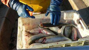 kuhaa laatikossa, kalastajan kädet