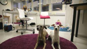 Whippetit Maisa ja Pami ovat poseeraamisen ammattilaisia.