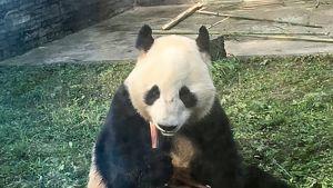 Hua Bao -panda.