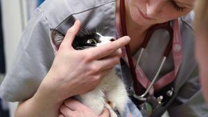 Kissaa hoidetaan Viikin pieneläinsairaalassa.