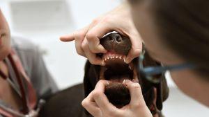 Koiranpentua hoidetaan Viikin pieneläinklinikalla.