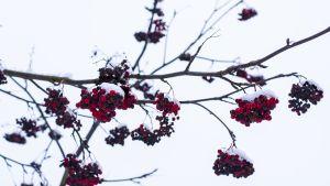 pihlajan marjoja ja oksia sekä lunta