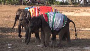 Lämmittäviä peittoja norsuvauvojen päällä.