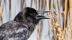 Lähikuva raakkuvasta variksesta