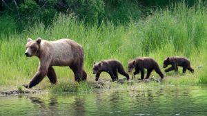 Avara luonto: Eläinten supervanhemmat