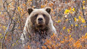Avara luonto: Alaskan monet kasvot