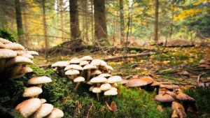 Ilman sieniä Suomessa ei olisi metsiä - sienet ovat metsän selkäranka