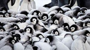 Avara luonto: Pieni pingviininpoikanen