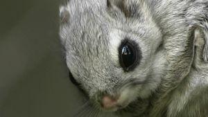 Tuhat kuvaa liito-oravasta