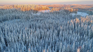 Kestääkö pohjoinen havumetsävyöhyke ilman kunnon talvea, kun ilmastonmuutos etenee?