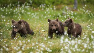 Luontoretkellä: Neljän suuren metsästys