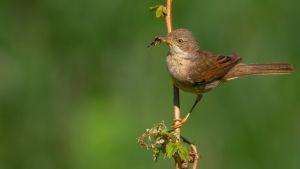 Vilken gråbrun fågel har vassa inslag i både rösten och reviret? 20.6.2019, del 2