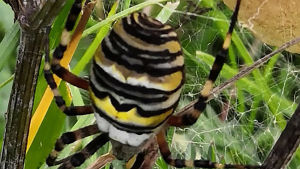 Naturväktarna: Vad är det för en vacker spindel? 13.11.2019, del 1