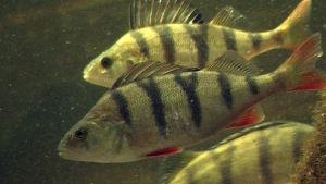 Proteiinit, rasvat ja maapallon kantokyky - kala on ylivertainen ravintopakkaus