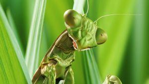 Luontohetki: Rukoilijasirkan elämää
