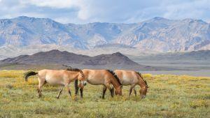 Mongolian villihevosten kanta toipuu - Korkeasaaren Hanna ja Helmi vapautettiin Aasian aroille