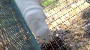 Vit mink i bur.