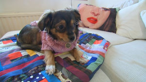 Koira makoilee sohvalla.