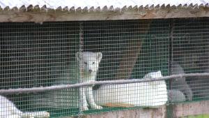 Vit räv i bur.