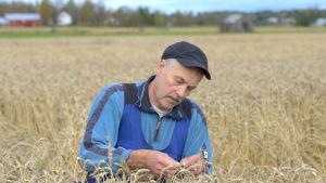 Martin Edman, spannmålsjordbrukare i Övermalax.