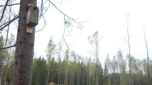En flygekorrholk som blev kvar efter att träden röjts i Toby.