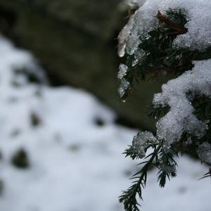 Snö på grankvist.