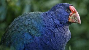 Lentokyvyttömien lintujen uskotaan kehittyneen lentävistä sukulaisistaan.
