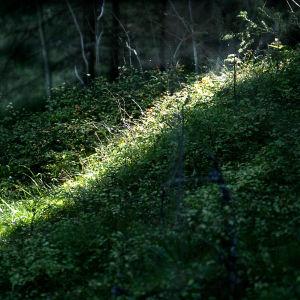 Valonsäde metsässä