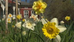 Flera olika narcisser i gräset framför Strömsös veranda.