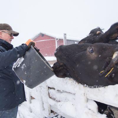 Esa Kemppainen ruokkii lehmiä ämpäristä.