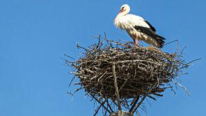 Stork i ett storkbo i toppen av en stolpe