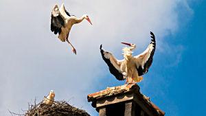 Storkar vid ett bo