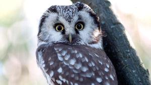 Helmipöllö puussa