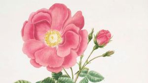 Mary Lawrances Rosa gallica. 1799.