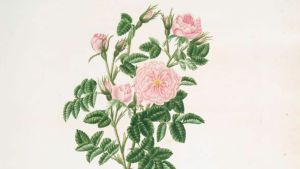Mary Lawrances Rosa rubinigosa. 1799.