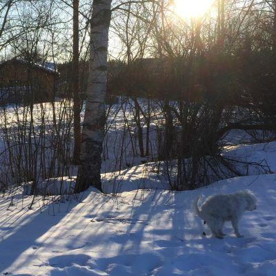 Koira kakkaa aurinkoisella hangella.
