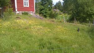 En bild på en äng där det växer gula blommor. I bakgrunden syns ett rött hus.