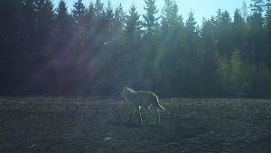 Ljus varg fotad med viltkamera