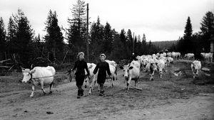 Evakuering, kvinnor för kor över till Sverige, Lapplandskriget