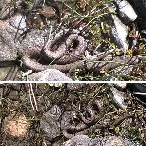 Johanna Brink fotograferade denna ormen på en strand i Kökar. Den var ca 1 meter lång, gråbrun med svarta prickar och tydliga gula fläckar i nacken. Är ormen en vanlig snok, och kan man hitta hasselsnokar t.ex. på Kökar?